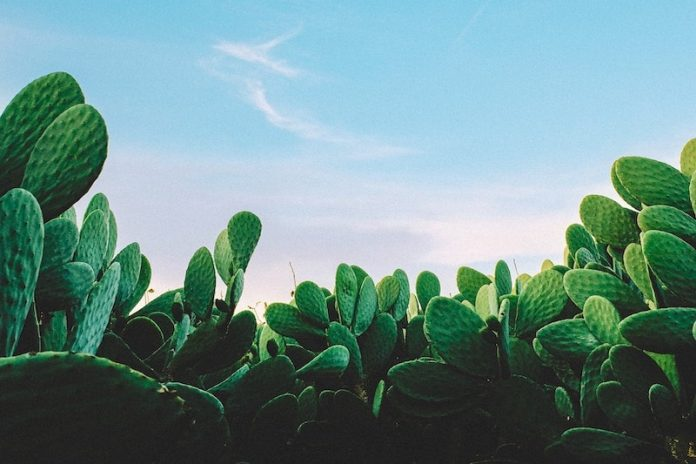 Peyote the Magic Cactus - What Is Peyote? Experience, Benefits, and Side Effects