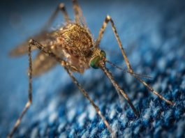 13 facts you may not know about mosquitoes